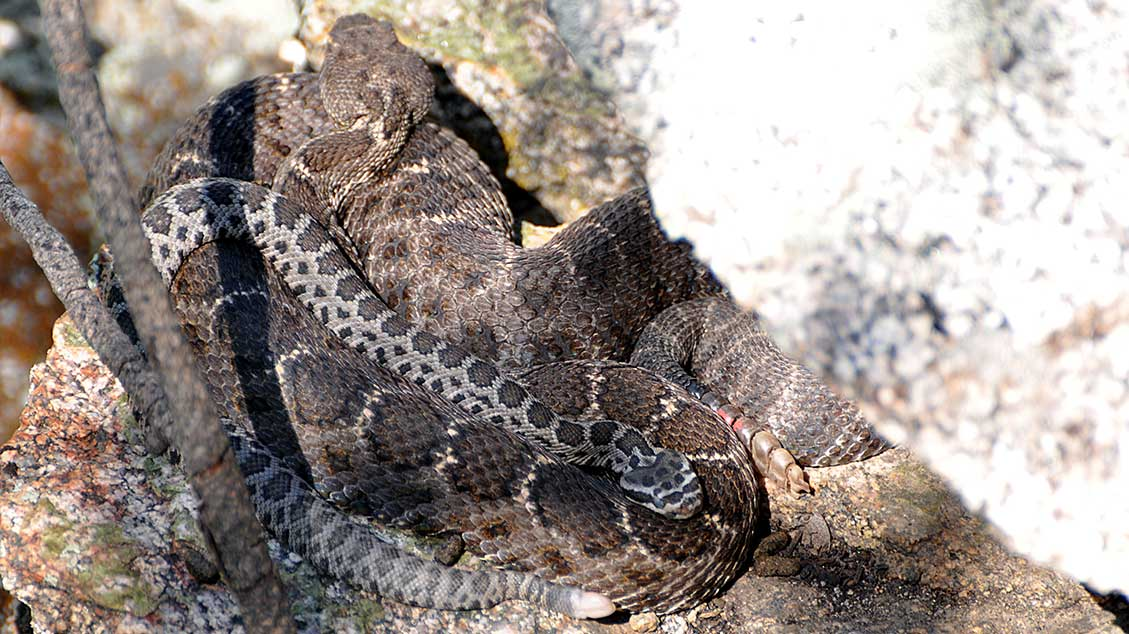 House, a newborn Arizona Black Rattlesnake, rests among Priscilla's coils. Priscilla is still pregnant here; House is her nestmate's baby.