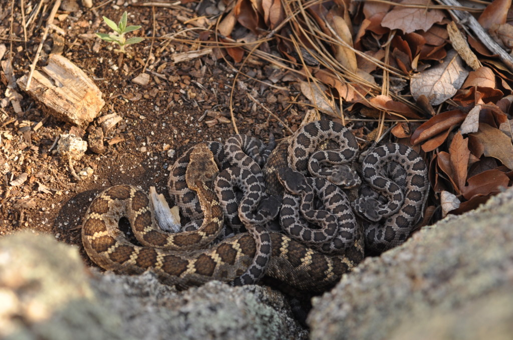 Eve and family (Arizona black rattlesnakes), photographed by Jeff Smith.