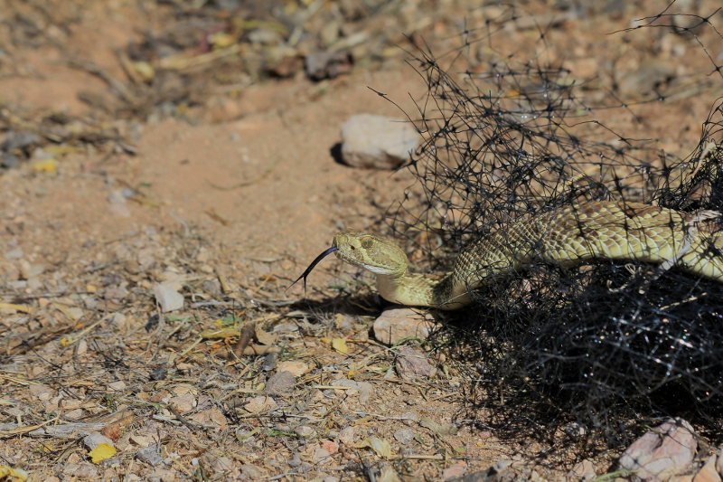 Mohave Rattlesnake stuck in netting, photographed by Cindy Roth.