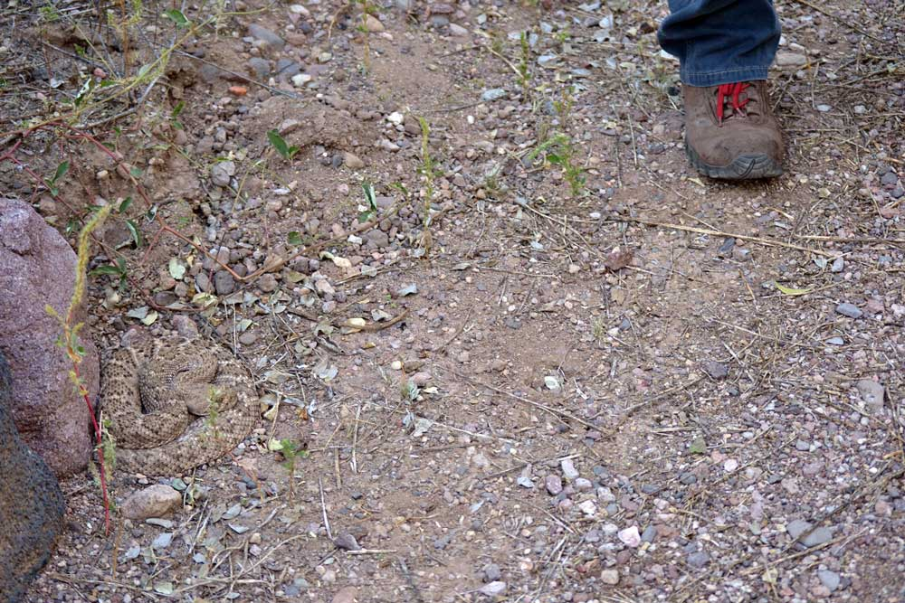 Henry, Western Diamond-backed Rattlesnake, coiled next to a trail with hiker standing nearby.