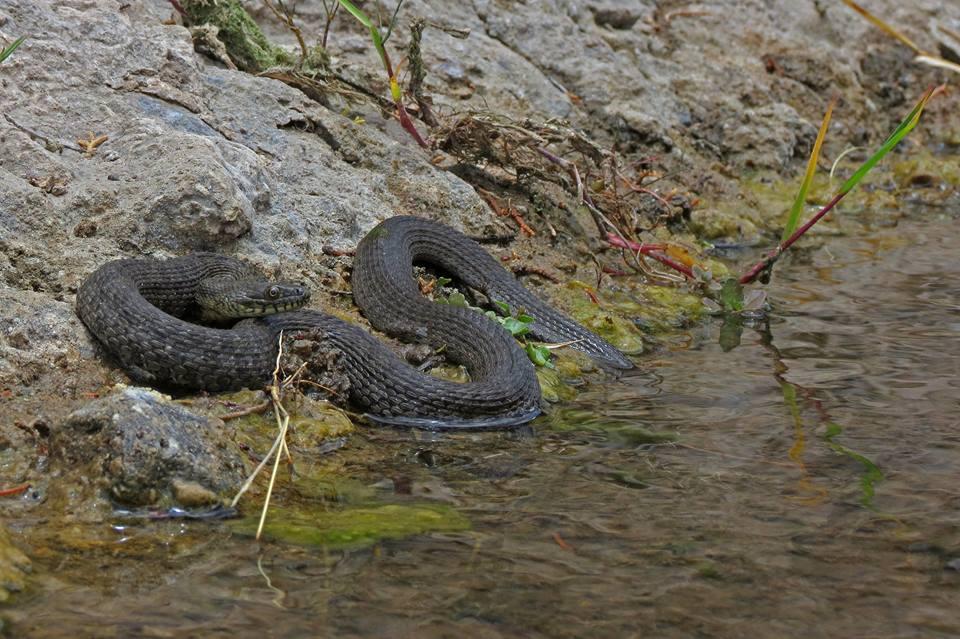 Narrow-headed gartersnake, photo courtesy Jeff Servoss