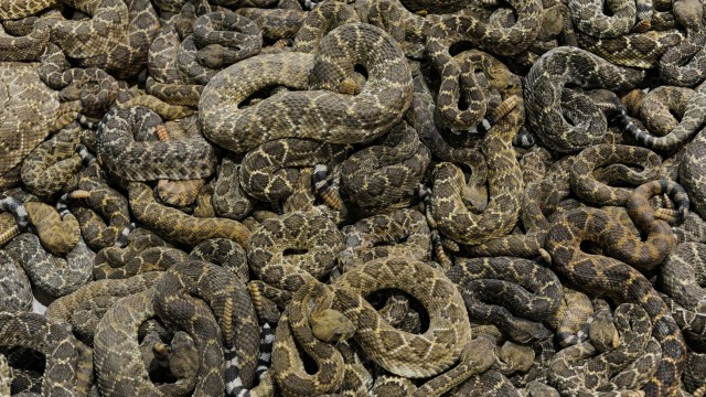 Gassing rattlesnakes in Texas
