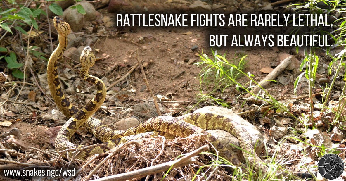 Rattlesnake fights are rarely lethal, but always beautiful.