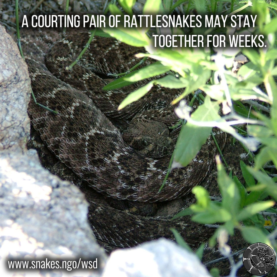 A courting pair of rattlesnakes may stay together for weeks.