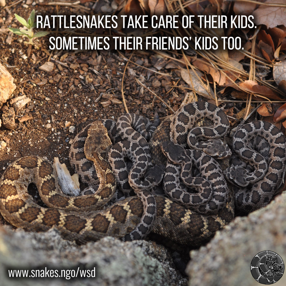Rattlesnakes take care of their kids. Sometimes their friends' kids too.