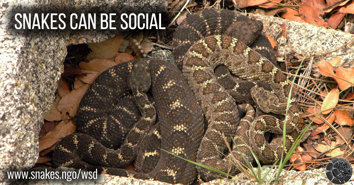 Snakes can be social.