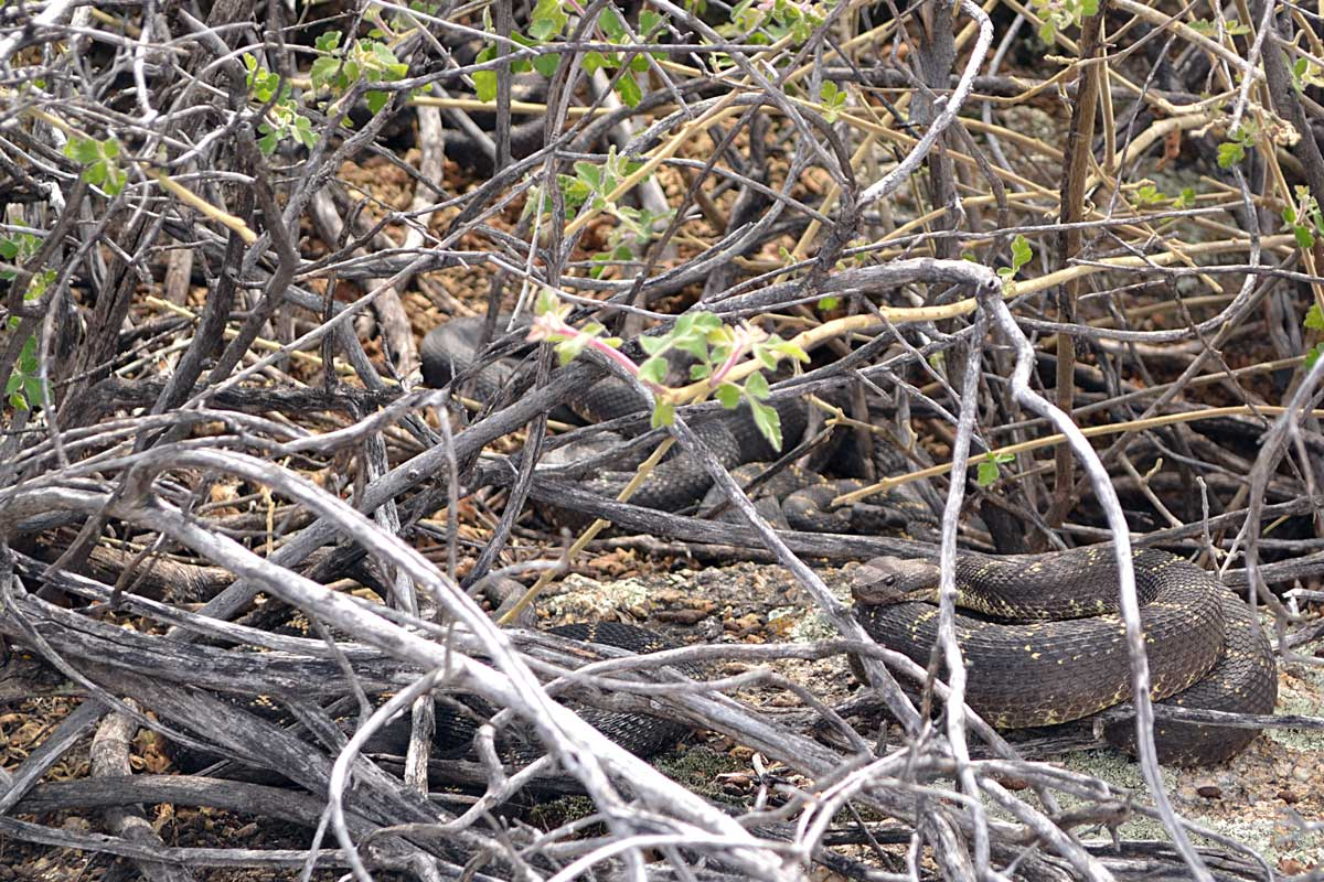 Adult Arizona black rattlesnakes chilling near their den. How many do you see?