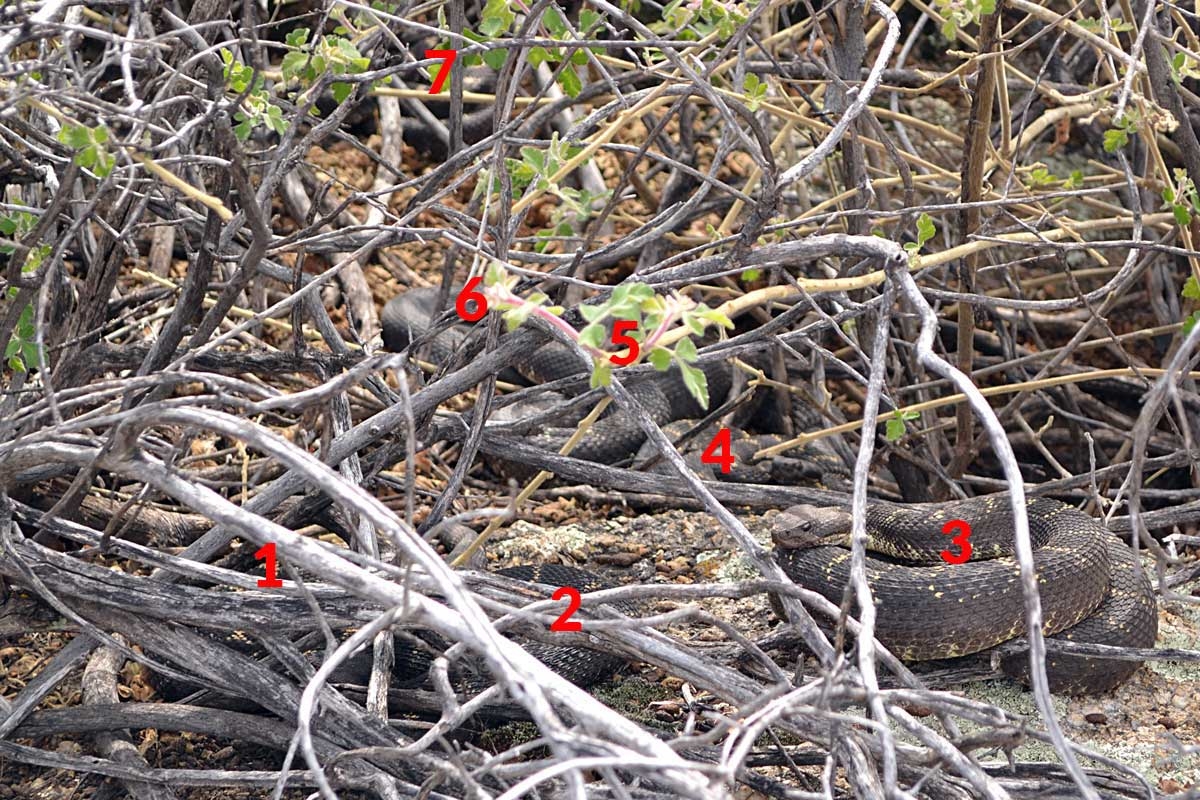There are seven adult Arizona black rattlesnakes pictured here
