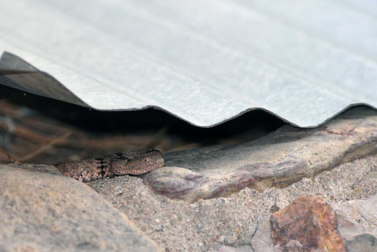 Carol, a female rock rattlesnake, hunting under an old metal sheet.