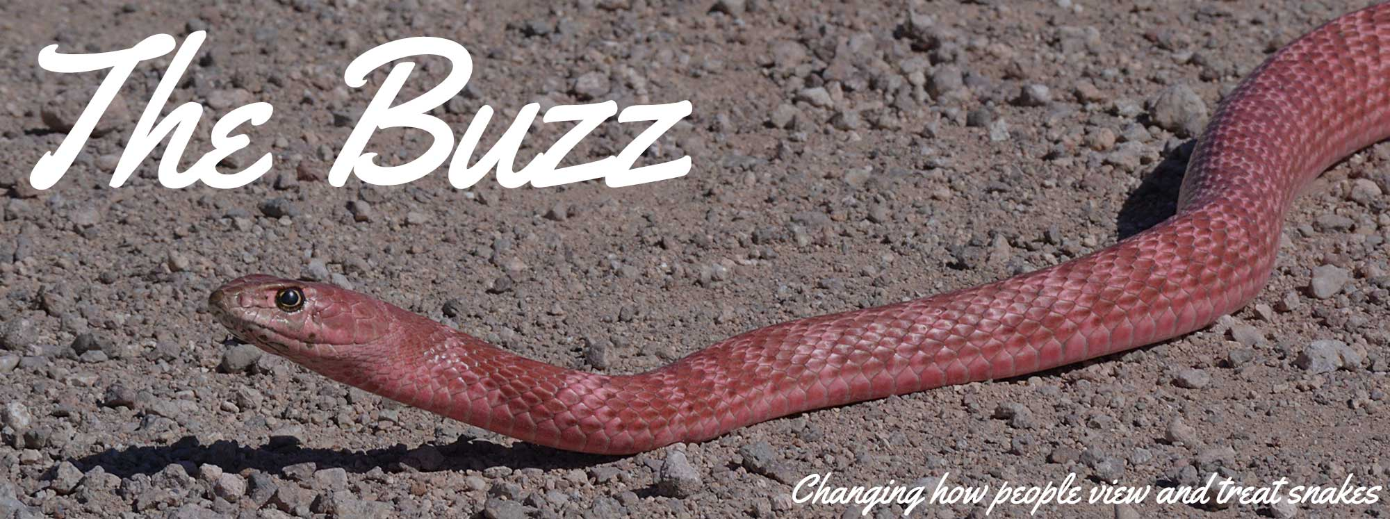The Buzz: changing how people view and treat snakes