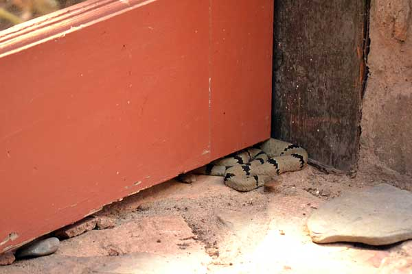 Daryl, male Rock Rattlesnake, coiled by our door