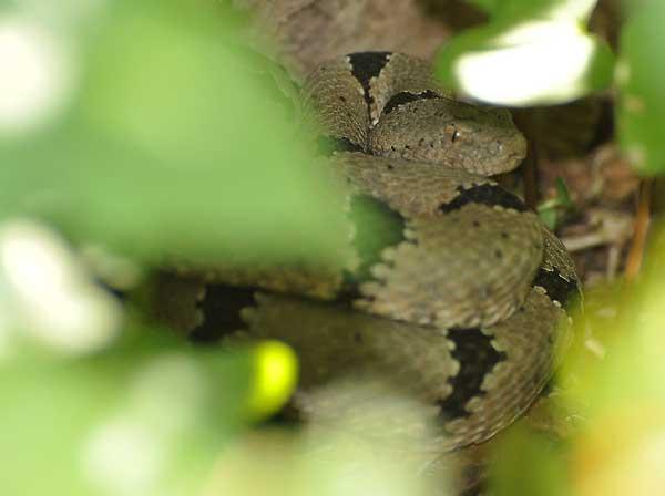 Daryl, male Rock Rattlesnake, hiding in the vegetation