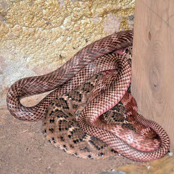 A Coachwhip and Western Diamond-Backed Rattlesnake in the Snake House