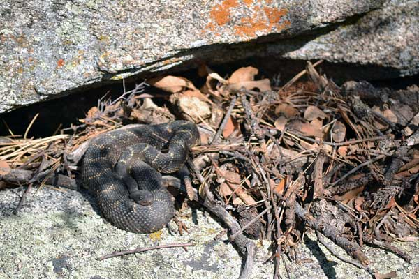 Pregnant TWA, female Arizona Black Rattlesnake, 2011