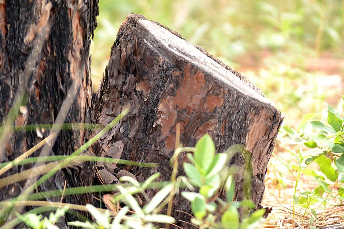 Carol, female Rock Rattlesnake, hunting on a pine stump