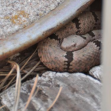 Carol, female Rock Rattlesnake, resting.