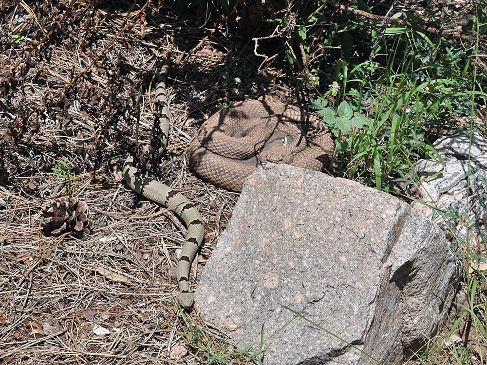 Daryl, male Rock Rattlesnake, crawling next to concrete rattlesnake