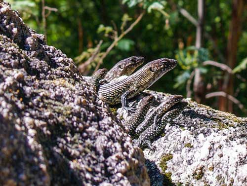 Cunningham's Skink family, photographed by Julia Riley.