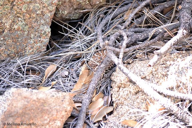 520, juvenile Arizona Black Rattlesnake, in April 2011.