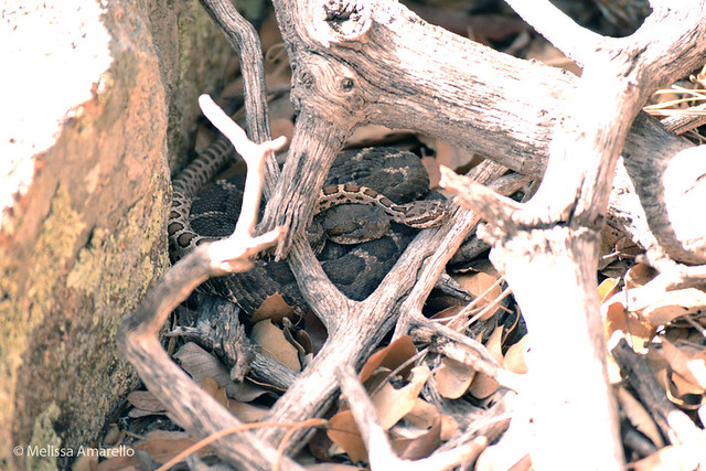 Barb, juvenile Arizona Black Rattlesnake, another of Devil Tail's neonates, with Sigma, April 2011.