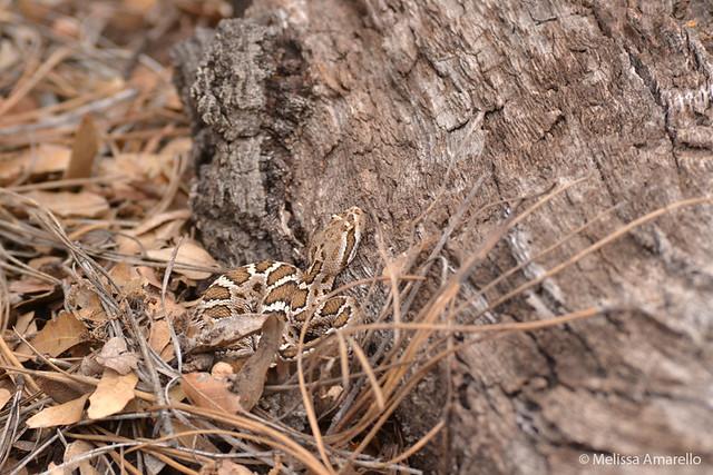 Dagger, juvenile Arizona Black Rattlesnake, hunting, August 2011.