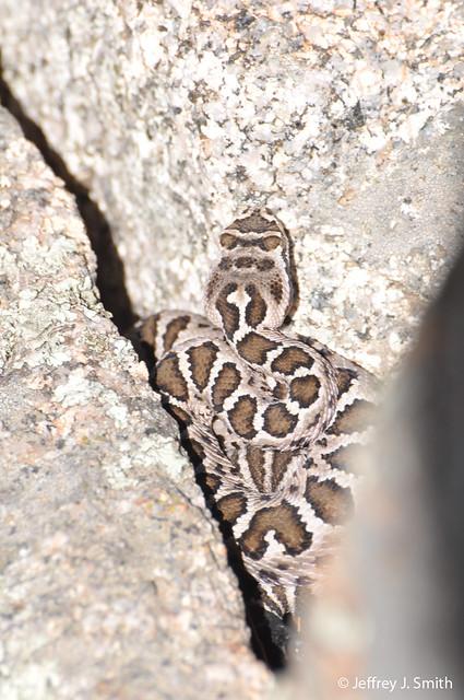 Unibrau, juvenile Arizona Black Rattlesnake, April 2011.