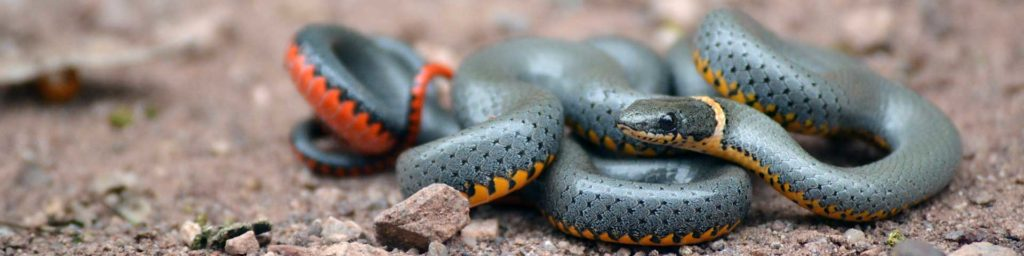 A gorgeous, harmless Ring-necked Snake: slate gray on top with a bright orange and yellow belly.