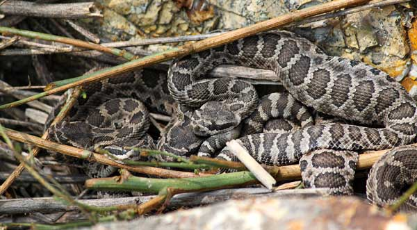 Newborn Southern Pacific Rattlesnake pups rest at a rookery where multiple females gave birth together. The pups will soon shed and disperse from the rookery in search of lizards to eat, photographed by Wyatt Stapp.