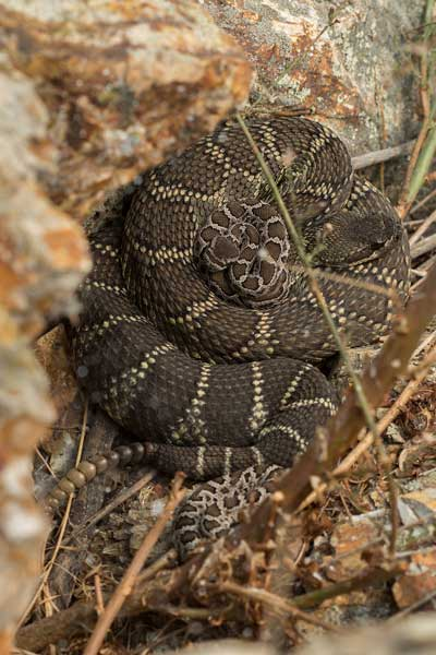 "A pregnant Southern Pacific Rattlesnake ""babysits"" another female's babies at the preserve, photographed by Spencer Riffle."
