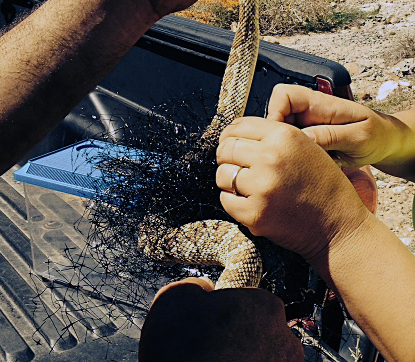 Jodi and Eddy Gray removing the rattlesnake from netting, photographed by Cindy Roth.