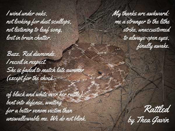 A male Red Diamond Rattlesnake resting under a rock, photo courtesy of CJ.