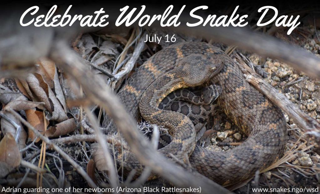 """Celebrate World Snake Day July 16"" written on an image of Adrian guarding one of her newborns (Arizona Black Rattlesnakes)"