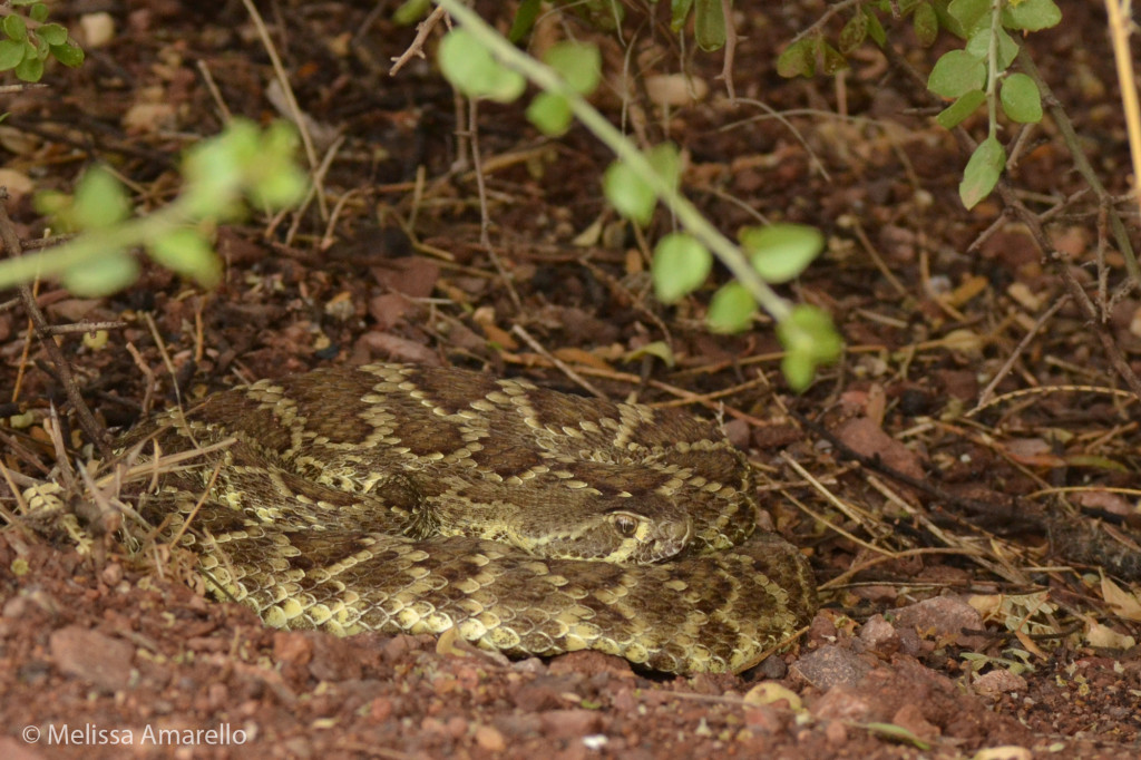 A Mohave Rattlesnake coiled under a shrub.